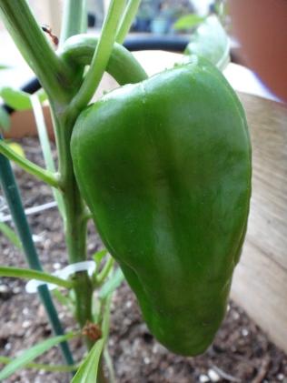 Pinterest in Real Life: Epsom salt treated bell peppers